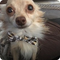 Adopt A Pet :: Brandi - Las Vegas, NV