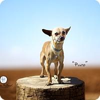 Adopt A Pet :: Pluto - Lubbock, TX