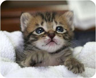 American Shorthair Kitten for adoption in Whitestone, New York - Teddy 2