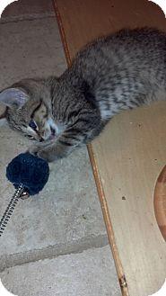 Polydactyl/Hemingway Kitten for adoption in Sterling Hgts, Michigan - Kirk