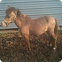 Adopt A Pet :: Munchkin - York, SC