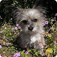 Adopt A Pet :: Scrappy - Goodyear, AZ