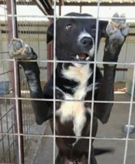 Labrador Retriever Mix Dog for adoption in Odessa, Texas - Ben