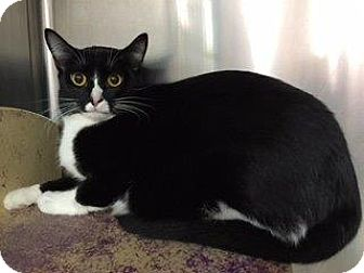 Domestic Shorthair Cat for adoption in Cincinnati, Ohio - Dumpling