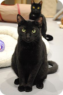 Domestic Shorthair Cat for adoption in Lafayette, New Jersey - Noel