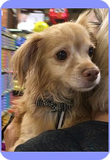 Pomeranian/Chihuahua Mix Dog for adoption in Phoenix, Arizona - Arlo