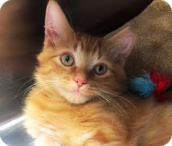 Domestic Longhair Kitten for adoption in Burlington, North Carolina - BERNARD