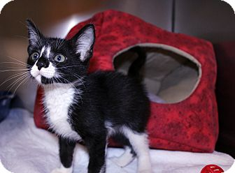 Domestic Mediumhair Kitten for adoption in Lumberton, North Carolina - Civic