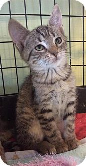Domestic Shorthair Kitten for adoption in Breinigsville, Pennsylvania - Billy