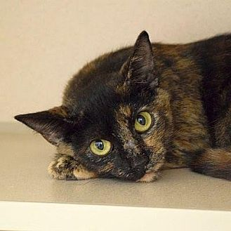 Domestic Shorthair Cat for adoption in Denver, Colorado - Heather