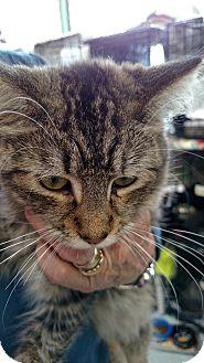 Domestic Shorthair Kitten for adoption in Yuba City, California - Mya aka Oscarina