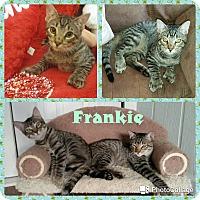 Adopt A Pet :: Frankie - Arlington/Ft Worth, TX