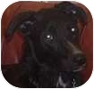Curly-Coated Retriever/Border Collie Mix Puppy for adoption in Hamilton, Ontario - Norman