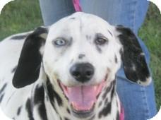 Dalmatian Dog for adoption in Turlock, California - Dotty