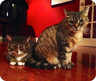 Domestic Shorthair Cat for adoption in Toronto, Ontario - Little Miss Sunshine