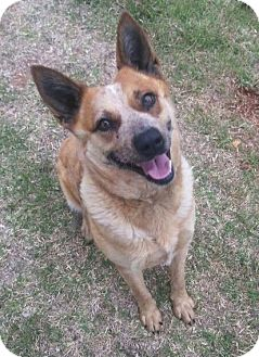Australian Cattle Dog Dog for adoption in Elgin, Oklahoma - Sadie