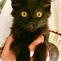 Domestic Mediumhair Cat for adoption in Chandler, Arizona - Norman