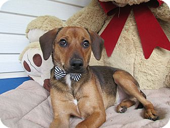 Dachshund/Jack Russell Terrier Mix Puppy for adoption in Baltimore, Maryland - Edwin