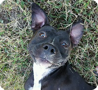 Retriever (Unknown Type)/American Staffordshire Terrier Mix Dog for adoption in Greer, South Carolina - Trixie