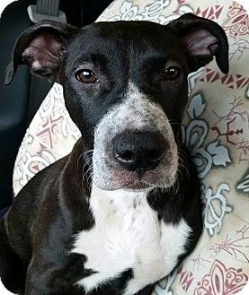 Labrador Retriever Mix Dog for adoption in Gainesville, Florida - Tapioca