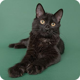 Domestic Longhair Cat for adoption in Wilmington, Delaware - Macy
