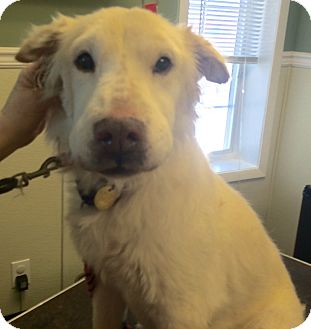 Shar Pei/American Eskimo Dog Mix Dog for adoption in Oak Ridge, New Jersey - Gianni