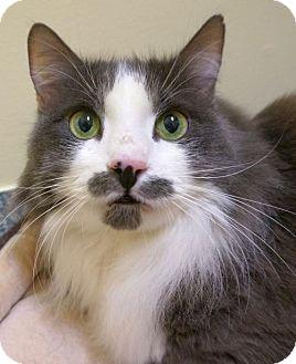 Domestic Longhair Cat for adoption in Verona, Wisconsin - Hercule and Aggie - bonded pair