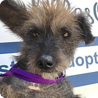 Adopt A Pet :: Daisy - Raytown, MO
