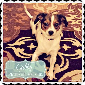 Papillon/Chihuahua Mix Dog for adoption in San Antonio, Texas - Gabby