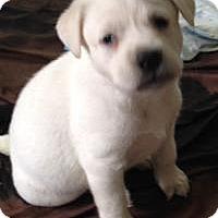 Adopt A Pet :: Isabella - Marlton, NJ
