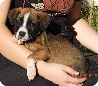 German Shepherd Dog/English Bulldog Mix Puppy for adoption in West Sand Lake, New York - Wink (6 lb) Video!