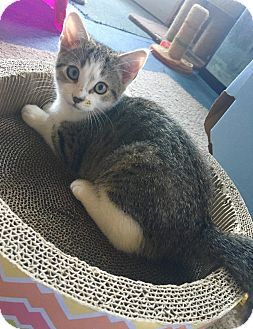 Domestic Shorthair Kitten for adoption in Franklin, Indiana - Mouse