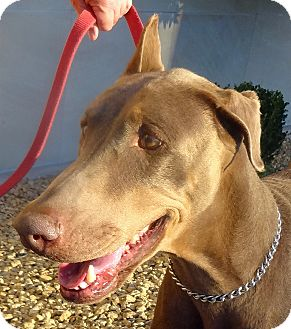 Doberman Pinscher Dog for adoption in Las Vegas, Nevada - Rebecca