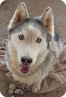 Siberian Husky Dog for adoption in Las Vegas, Nevada - Cochise