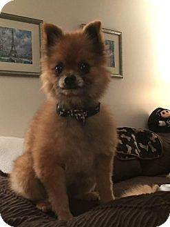 Pomeranian/Chihuahua Mix Dog for adoption in Saltsburg, Pennsylvania - Rusty