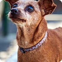 Miniature Pinscher Dog for adoption in Port Washington, New York - Melody