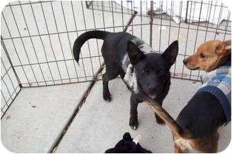 Shiba Inu/Terrier (Unknown Type, Small) Mix Dog for adoption in Hohenwald, Tennessee - Dominic