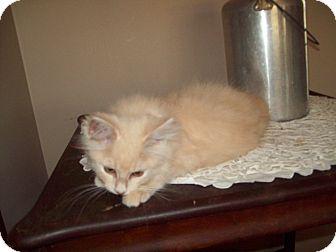 Domestic Longhair Kitten for adoption in Dover, Ohio - Sid