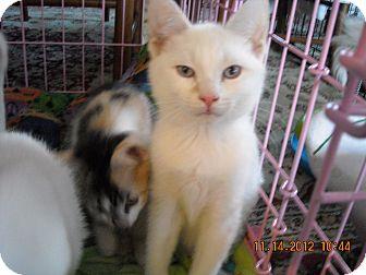 Siamese Kitten for adoption in Riverside, Rhode Island - Redmond, Rourke