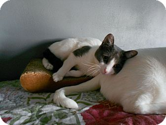 Domestic Shorthair Cat for adoption in Port Republic, Maryland - Toot