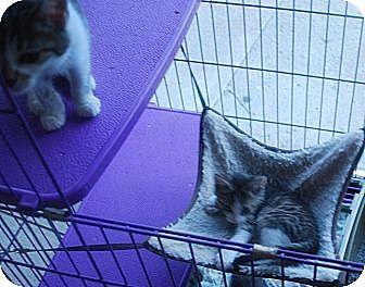 Domestic Shorthair Kitten for adoption in Lexington, Kentucky - Kittens of all colors