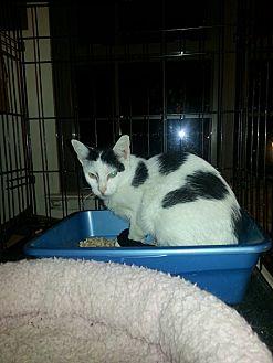 Domestic Shorthair Cat for adoption in Brooklyn, New York - X-post Tuffy