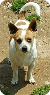Jack Russell Terrier/Chihuahua Mix Dog for adoption in Sussex, New Jersey - Scooby Laid back & handsome