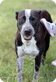 Pit Bull Terrier/Australian Cattle Dog Mix Dog for adoption in McAllen, Texas - Tigressa