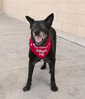 Labrador Retriever/Shepherd (Unknown Type) Mix Dog for adoption in Houston, Texas - Buddy