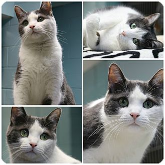 Domestic Shorthair Cat for adoption in Forked River, New Jersey - Ms. Congeniality