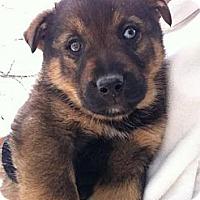 Adopt A Pet :: Sheldon - Saskatoon, SK
