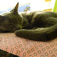 Russian Blue Cat for adoption in Jupiter, Florida - Moe