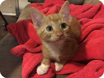 Domestic Shorthair Kitten for adoption in San Angelo, Texas - Finn