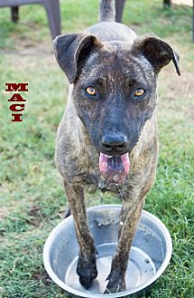 Whippet/Pit Bull Terrier Mix Dog for adoption in Patterson, California - Maci